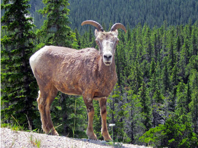 Canmore Rocky Mountain Sheep